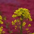 4:蜂と菜の花